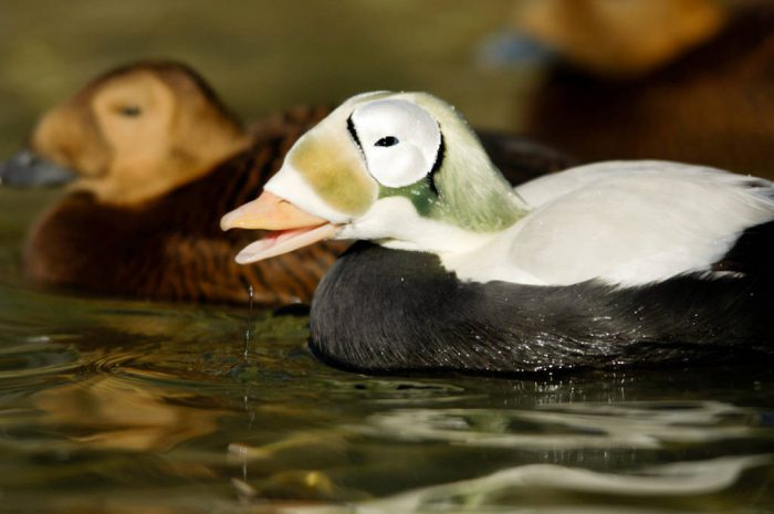 Picture of federally threatened, spectacled eider duck (Somateria fischeri) at the Great plains Zoo.