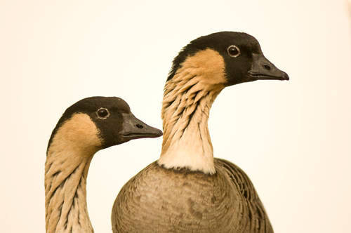 Nene geese (Branta sandvicensis) at the Great Plains Zoo, Sioux Falls, South Dakota. (IUCN: Vulnerable; US: Endangered)
