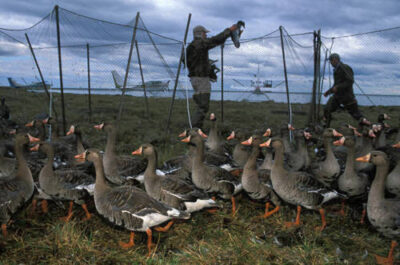 Photo: White-fronted geese under go capture and leg banding by biologists on the western part of the Slope near Teshukpuk Lake.