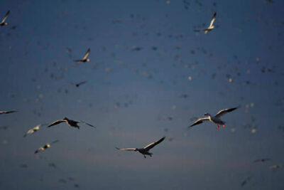 Picture of a Snow geese (Chen caerulescens) flock near J. Clark Salyer National Wildlife Refuge, North Dakota.