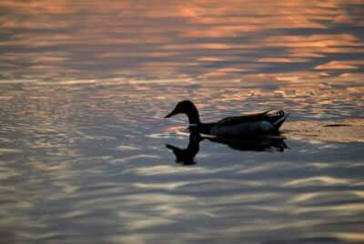 Photo: A duck at Holmes Lake in Lincoln, Nebraska.