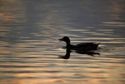 Photo: A duck at Holmes Lake in Lincoln, Nebraska.