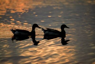 Photo: Ducks at Holmes Lake Park in Lincoln, Nebraska.