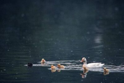 Photo: A mother and ducklings swim in a pond in Charlotte, North Carolina.