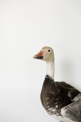Picture of a snow goose (Chen caerulescens) in blue phase.