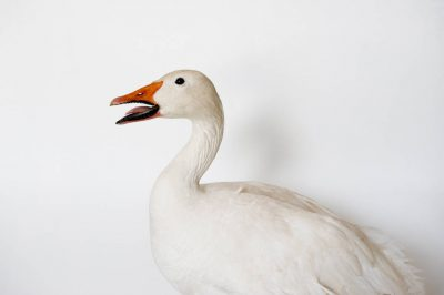 Picture of a lesser snow goose (Chen caerulescens caerulescens).