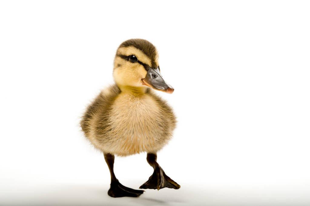 A mallard (Anas platyrhynchos) duckling.