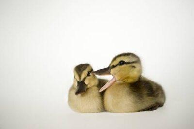 Mallard (Anas platyrhynchos) ducklings.