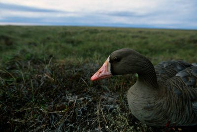 Photo: A white-fronted goose on the tundra on Alaska's North Slope (near Atqasuk.)