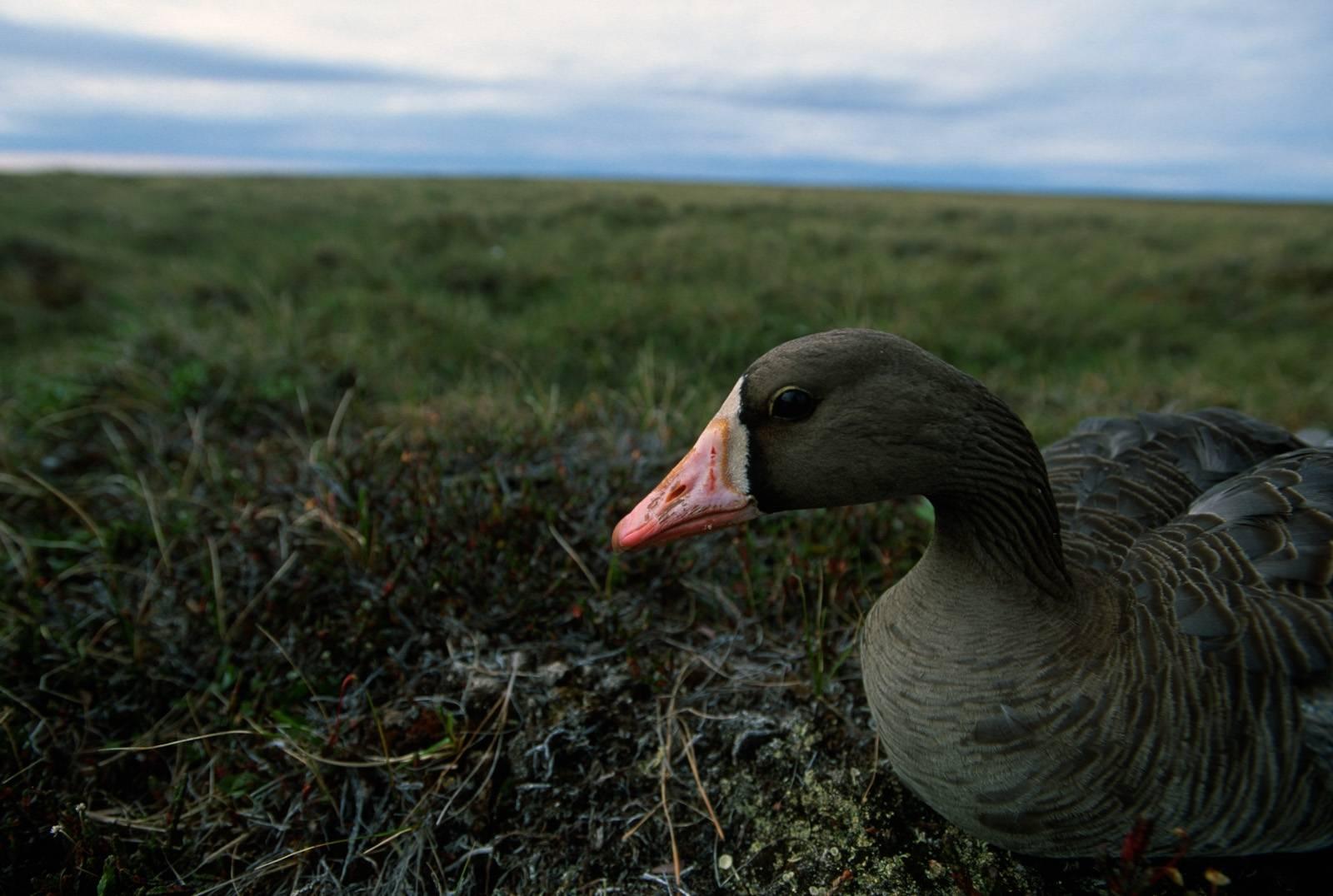 Photo: A white-fronted goose on the tundra on Alaska's North Slope (near Atqasuk.)