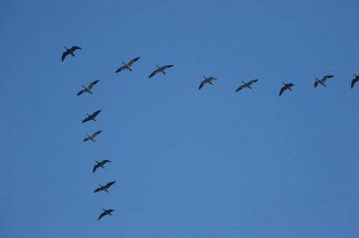 Picture of Snow geese (Chen caerulescens) in flight at dusk near Cortland, Nebraska.