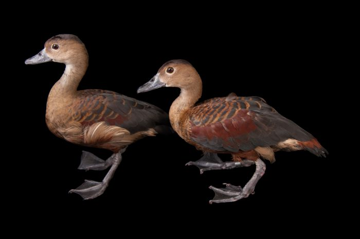 Picture of a pair of lesser whistling ducks (Dendrocygna javanica) at the Columbus Zoo.