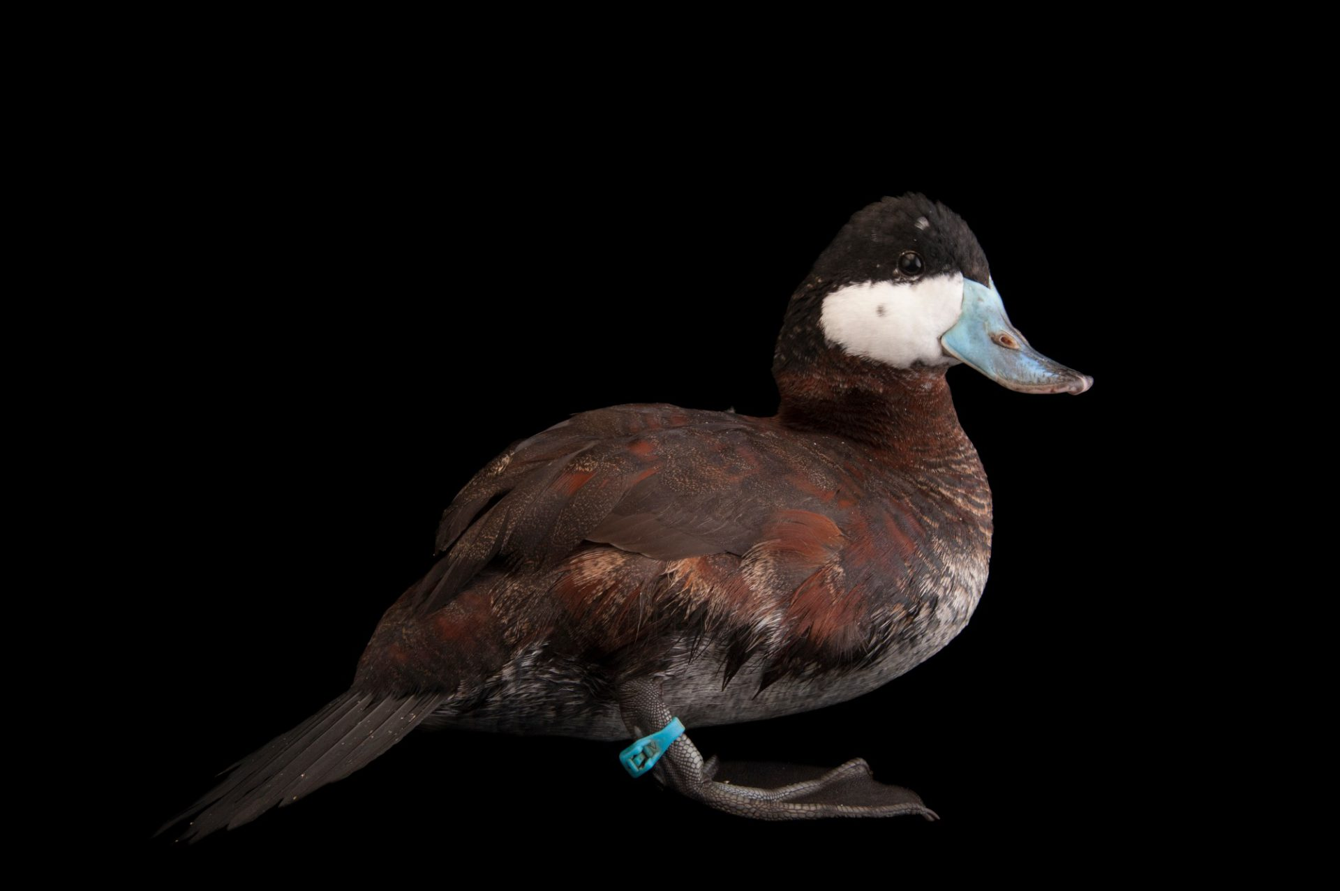 Picture of a North American ruddy duck (Oxyura jamaicensis jamaicensis) at the Columbus Zoo.