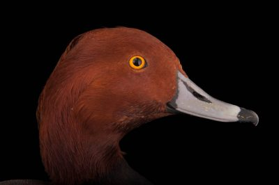 Picture of a redhead duck (Aythya americana) at the Columbus Zoo.