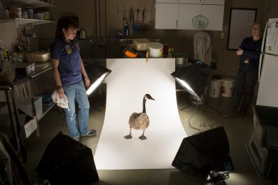 Photo: Two zookeepers help a Canada goose named Beeper (Branta canadensis) have his picture taken at the Boonshoft Museum of Discovery.