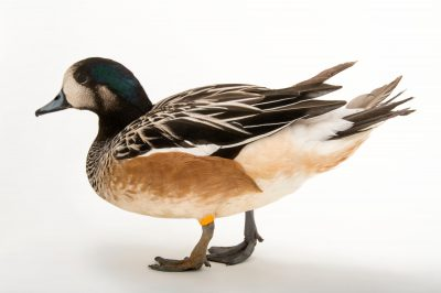 Picture of a Chiloe wigeon (Anas sibilatrix) at the Caldwell Zoo in Tyler, Texas.