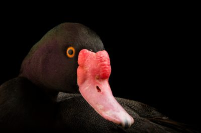 Picture of a rosy-billed pochard (Netta peposaca) at the Caldwell Zoo in Tyler, Texas.