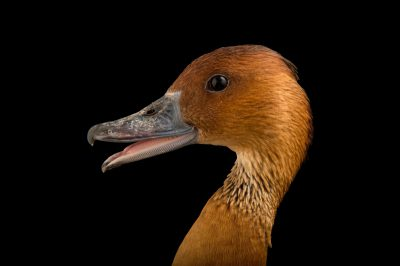 Picture of a fulvous whistling duck (Dendrocygna bicolor) at the Caldwell Zoo in Tyler, Texas.