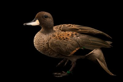 Picture of a sharp-winged teal (Anas flavirostris oxyptera) at the Caldwell Zoo in Tyler, Texas.