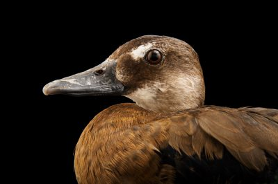Picture of a female Brazilian teal or Brazilian duck (Amazonetta brasiliensis) at the Caldwell Zoo in Tyler, Texas.