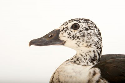 Picture of a female knob-billed duck (Sarkidiornis melanotos melanotos) at the Caldwell Zoo in Tyler, Texas.
