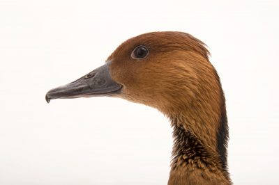 Picture of a fulvous whistling duck (Dendrocygna bicolor) at The Living Desert in Palm Desert, California.