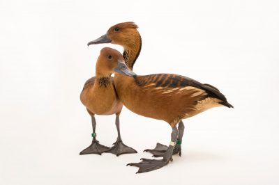 Picture of a pair of fulvous whistling ducks (Dendrocygna bicolor) at The Living Desert in Palm Desert, California.