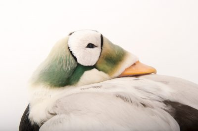 Picture of a federally threatened spectacled Eider (Somateria fischeri) at the Cincinnati Zoo.