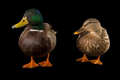 Picture of a male and female mallard (Anas platyrhynchos) at Northwest Trek Wildlife Park in Eatonville, Washington.