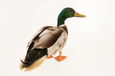 Picture of a male mallard (Anas platyrhynchos) at Northwest Trek Wildlife Park in Eatonville, Washington.