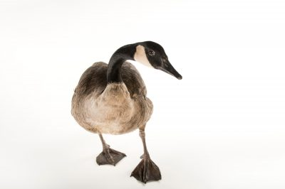 Photo: Beeper, a Canada goose (Branta canadensis) at the Boonshoft Museum of Discovery.