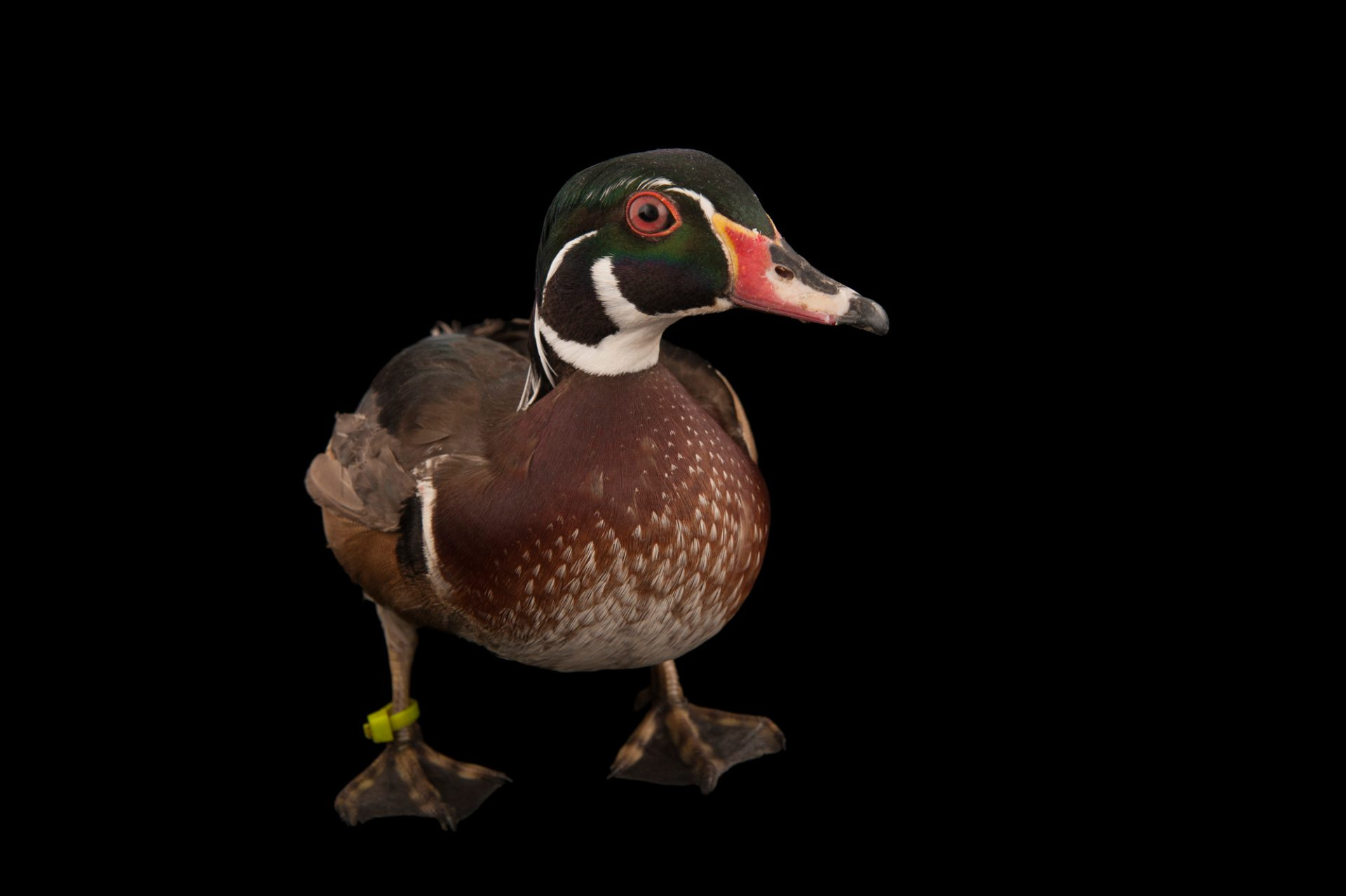 Picture of a wood duck (Aix sponsa) at the Lincoln Children's Zoo.