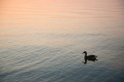 Photo: A mallard duck at Leech Lake, MN.