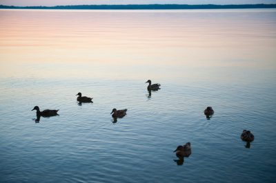 Photo: Mallard ducks at Leech Lake, MN.