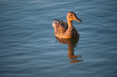 Photo: Mallard hen at Trader's Bay Lodge on Leech Lake, Walker, MN
