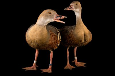 Picture of a male and female plumed whistling duck, Dendrocygna eytoni, at the Blank Park Zoo in Des Moines, Iowa.