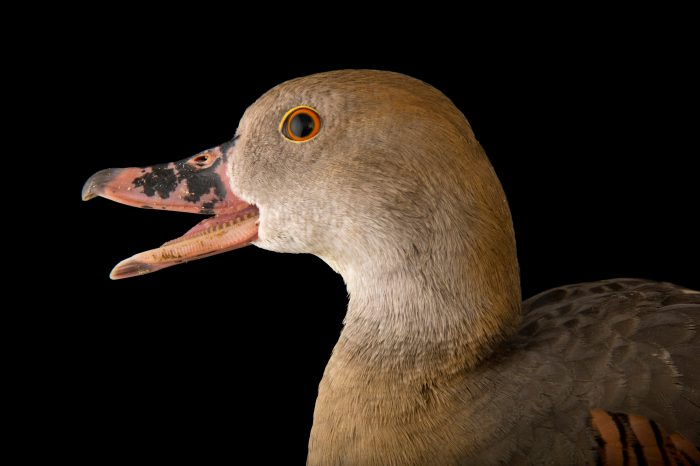 Picture of a plumed whistling duck, Dendrocygna eytoni, at the Blank Park Zoo in Des Moines, Iowa.