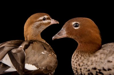 Picture of a male and female Australian wood duck, Chenonetta jubata, at the Blank Park Zoo in Des Moines, Iowa.