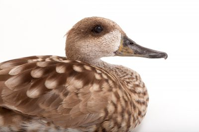 A vulnerable marbled teal (Marmaronetta angustirostris) at the Kansas City Zoo.