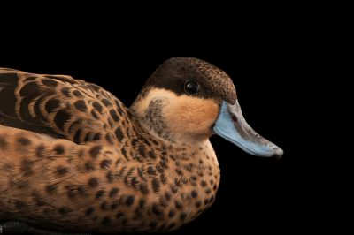 A hottentot teal (Anas hottentota) at the Kansas City Zoo.