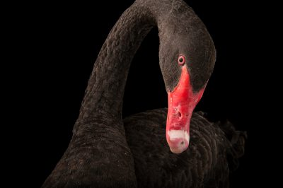 Picture of a black swan (Cygnus atratus) at the Kansas City Zoo.