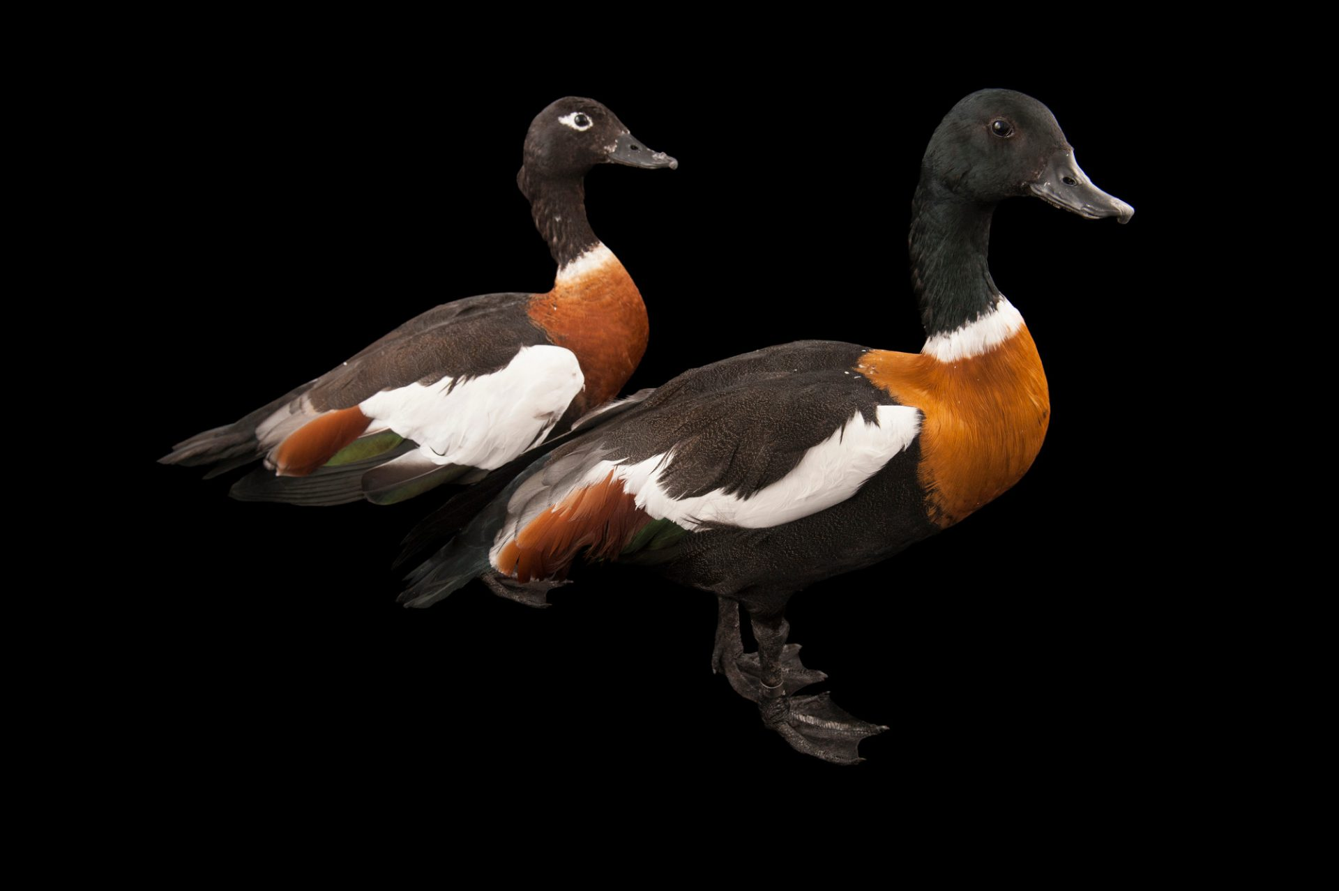Australian shelducks (Tadorna tadornoides) at the Kansas City Zoo.