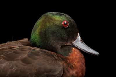 Picture of a chestnut teal (Anas castanea) at the Kansas City Zoo.
