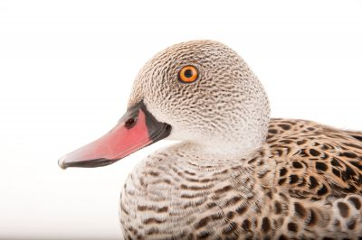 A cape teal (Anas capensis) Omaha's Henry Doorly Zoo and Aquarium.