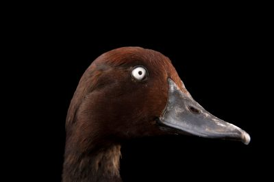 Picture of a ferruginous duck (Aythya nyroca) at the Palm Beach Zoo.