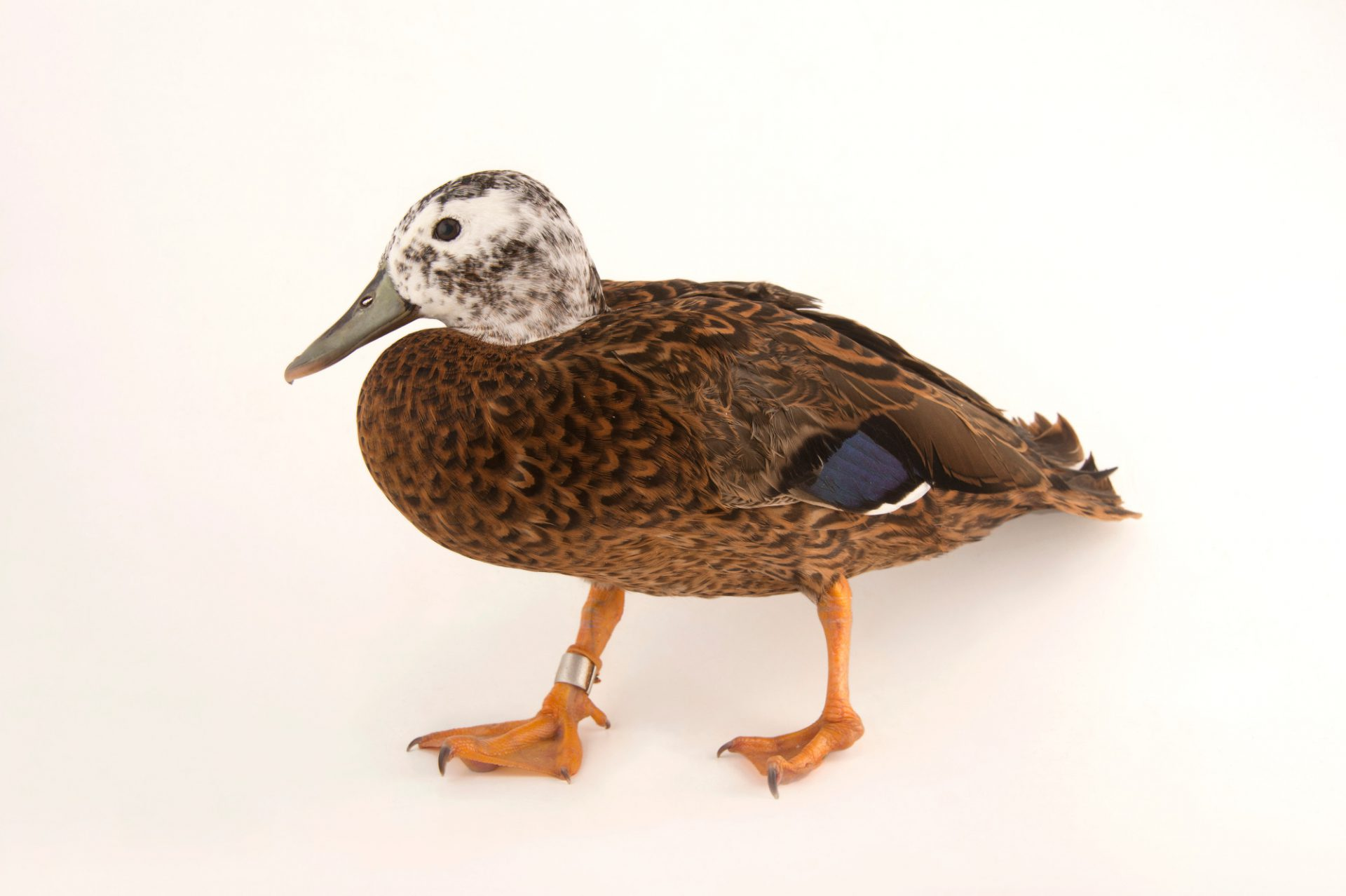 Picture of a critically endangered (IUCN) and federally endangered Laysan teal (Anas laysanensis) at the Palm Beach Zoo.