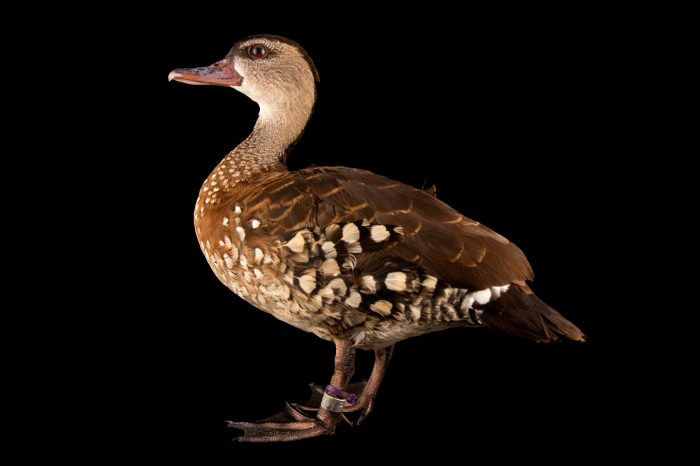 Picture of a spotted whistling duck (Dendrocygna guttata) at the Palm Beach Zoo.