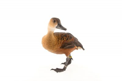 Picture of an Indonesian wandering whistling duck (Dendrocygna arcuata arcuata) at the Palm Beach Zoo.
