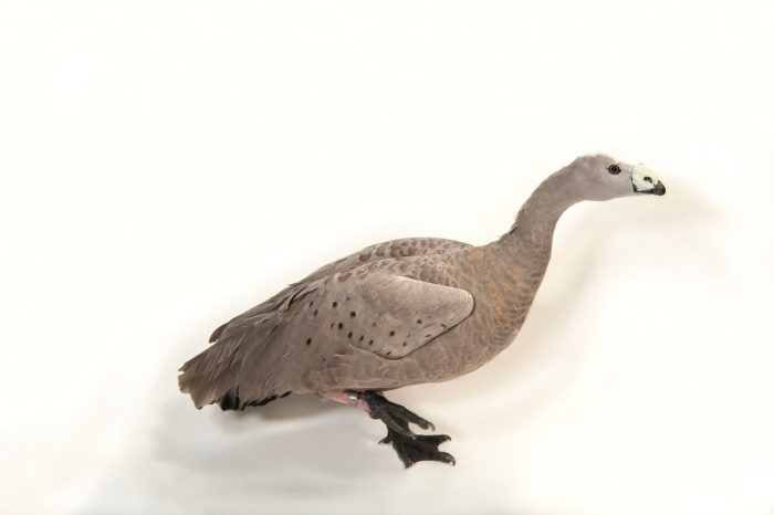 Picture of a Cereopsis or Cape Barren goose (Cereopsis novaehollandiae) at the Gladys Porter Zoo in Brownsville, Texas.