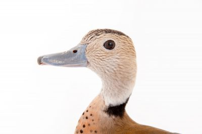 Picture of a male ringed teal (Callonetta leucophrys) at the Gladys Porter Zoo in Brownsville, Texas.